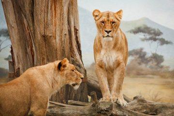 des lionnes durant un safari